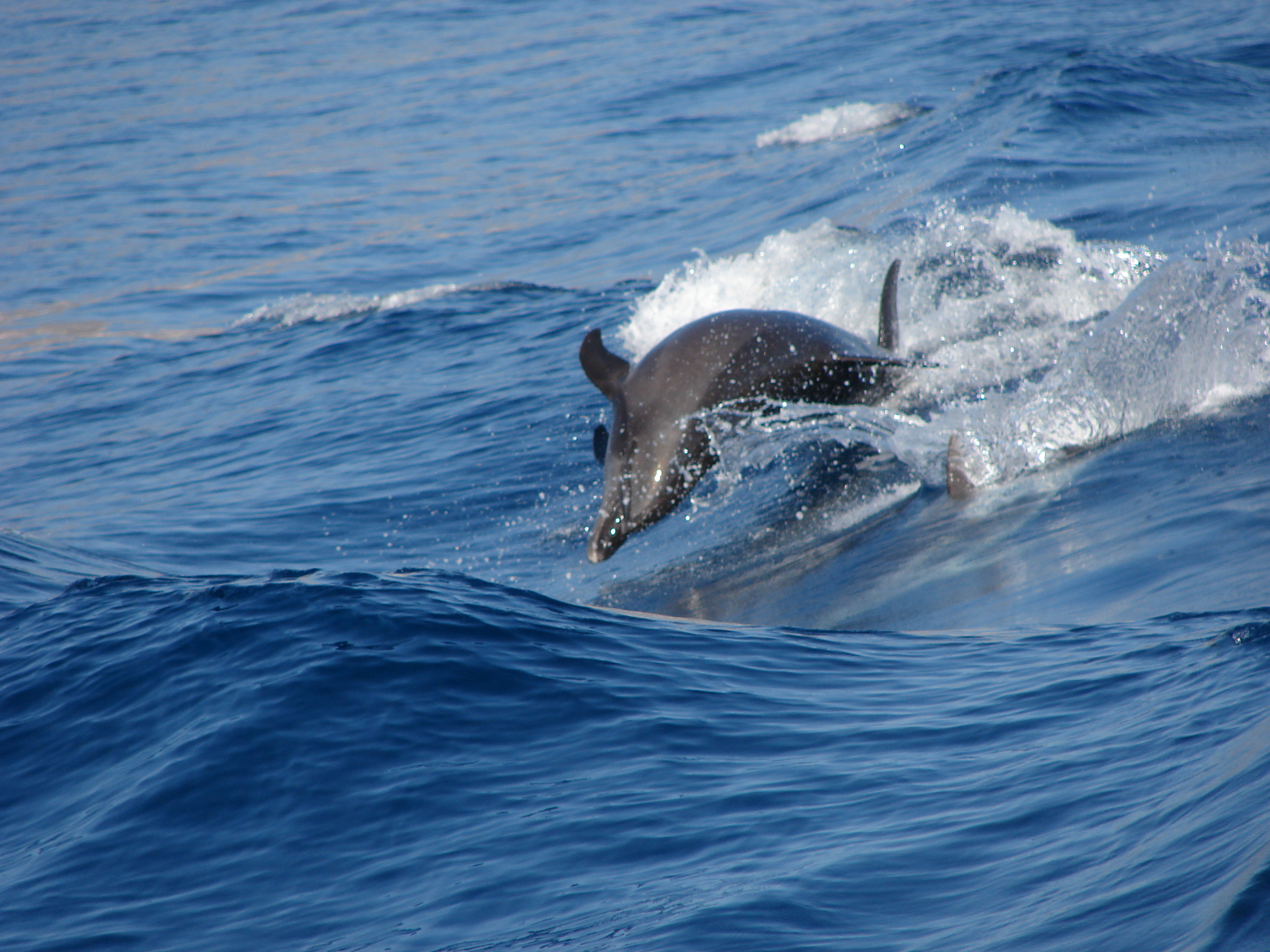 Dolfins following the boat,off tenerife coast