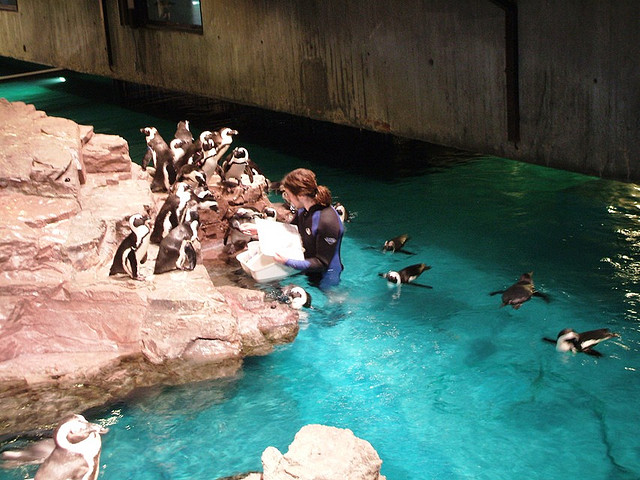 Penguins at the New England Aquarium