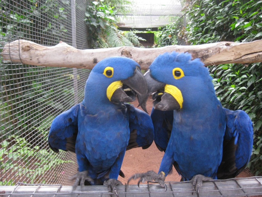 The pair of Hyacinthine Macaws at Loro Parque