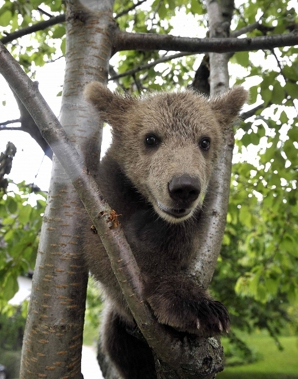 Wild Brown Bear Adopted by Slovenian Family