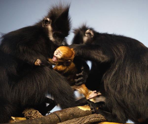 A Baby Cat Ba Langur leading the fight back from near extinction