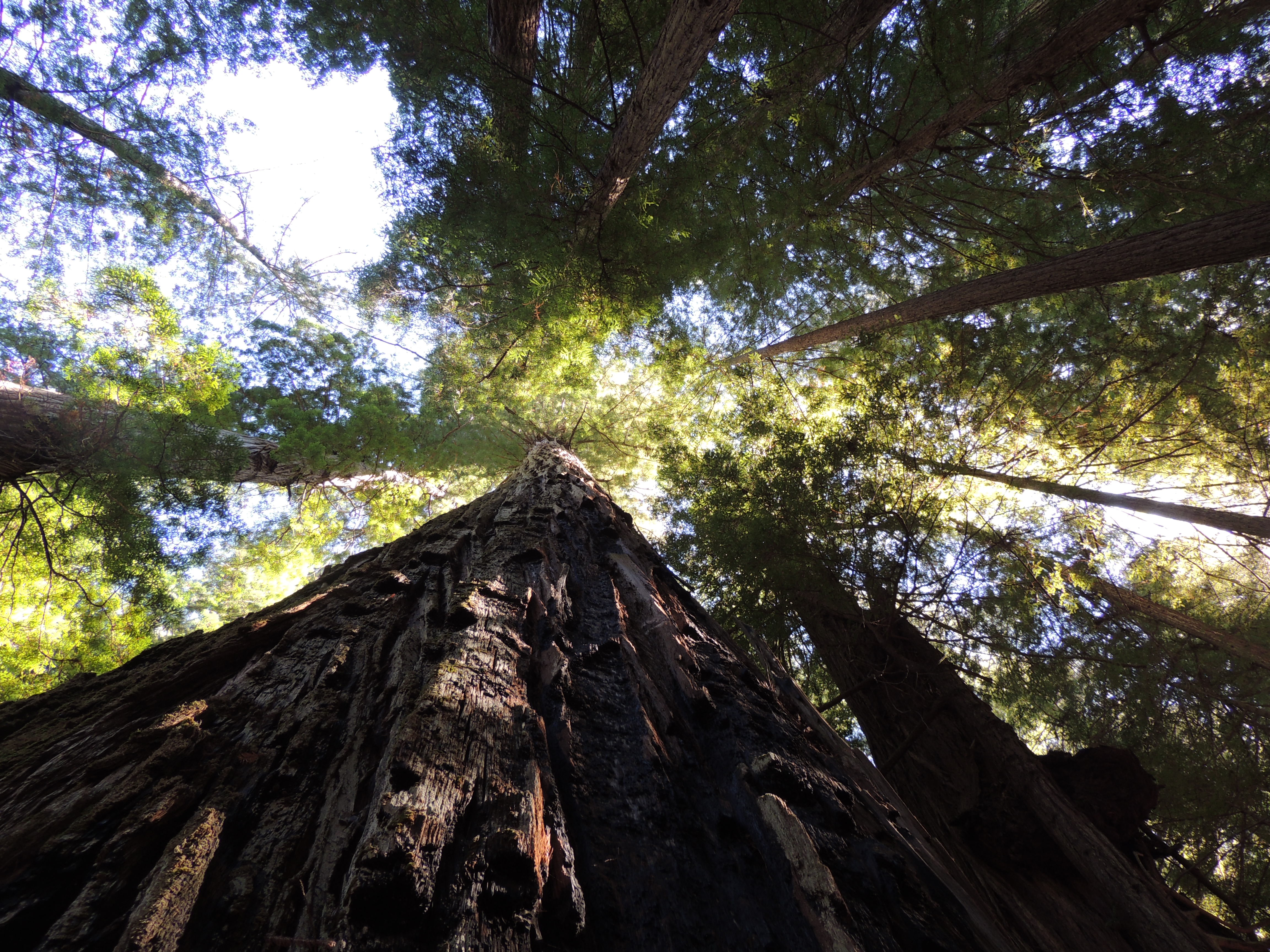 Looking upward through the branches of a stand of Sequoia Sempervirens